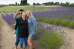 Scenes from the Lavender Festival in Sequim, WA. Thousands of people descend on the Olympic Peninsula in July for the annual Lavender Festival, held at many farms in the area. Here: a selfie trio at Graysmarsh Farm.