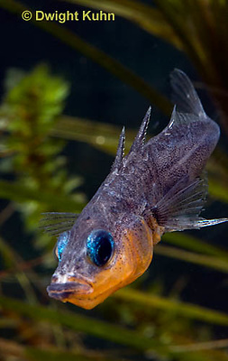 1S14-547z  Male Threespine Stickleback, Mating colors showing bright red belly and blue eyes, close-up of face, Gasterosteus aculeatus,  Hotel Lake British Columbia