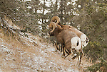 Two bighorn sheep are seen among the trees on a hillside in a light snowfall.