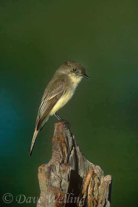 571018030 a wild eastern phoebe sayorais phoebe perches on a log over a small pond on a private ranch in the rio grande valley of south texas