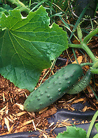 Cucumbers 'Bush Crop' growing on vine in garden on mulch and landscape fabric