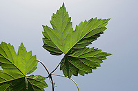 Gewöhnlicher Hopfen, Blatt, Blätter vor blauem Himmel, Humulus lupulus, Common Hop