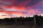 Dawn in the vineyards.  Margaret River, Western Australia, AUSTRALIA.