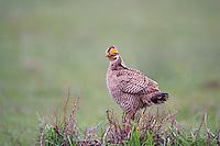 572110202 a wild male  lesser prairie chicken tympanuchus pallidicinctus an endangered species at a lek on a ranch near canadian texas united states