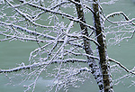 A river rushes behind snow frosted limbs of a mossy tree, Washington.
