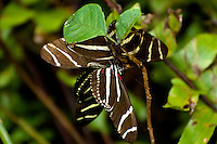 Three male zebra longwings were excitedly waiting for this new female to emerge from her pupa in the Corkscrew Swamp in SW Florida. This is a common mating practice for longwings.