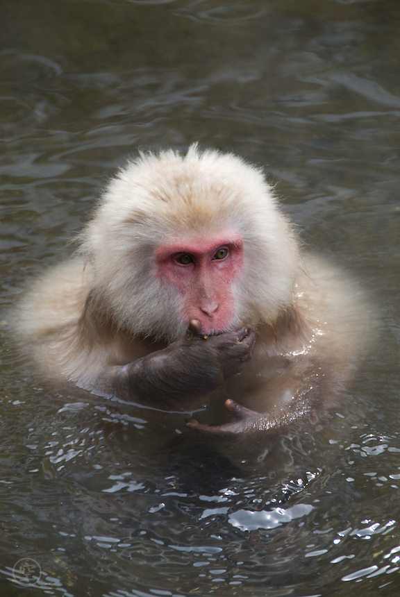 "A Japanese macaque strikes the classic ""speak no evil"" pose in the waters of the monkey onsen at Jikokudani Yaen Park, Nagano, Japan."