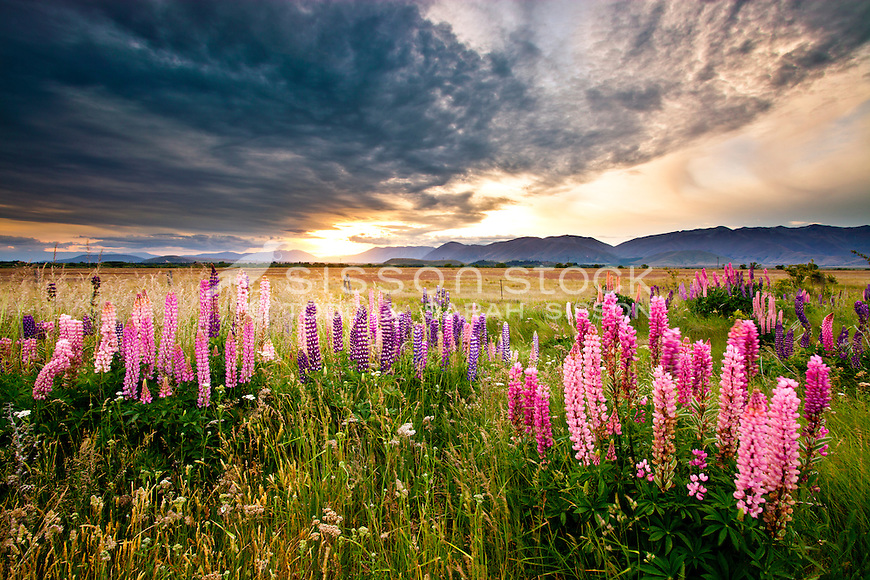 Flowering lupins in summer, along the road edge of SH8, McKenzie Country, South Island, New Zealand - stock photo, canvas, fine art print