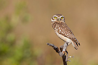 Burrowing Owl (Athene cunicularia), Piaui, Brazil