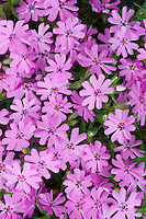 Phlox subulata 'Fort Hills' in rose-pink spring flowers closeup of many flowers