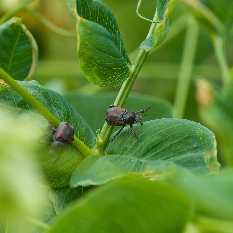 Garden chafer beetle (Phyllopertha horticola) on pea-flowered vetch (Vicia pisiformis), mid June.