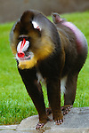 Male Mandrill portrait, Africa