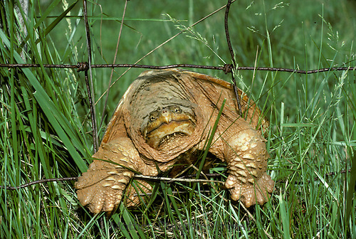 Snapping turtle, Chelydra serpentina, tries to crawl through fence with little caterpillar on grass above her/his head. An Ancient face, Midwest USA
