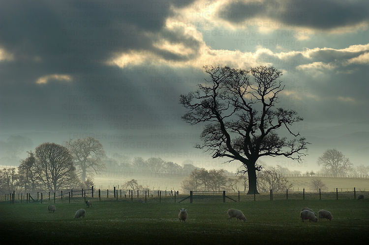 Sunlight shining onto pastures with sheep and oak trees