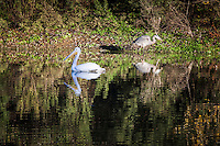 An American White pelican floats past a Great Blue heron feeding along the shoreline at Lake Chabot Regional Park on a late December afternoon.