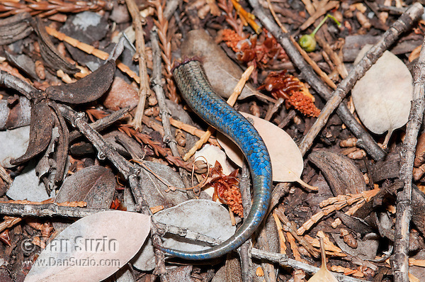Detached tail of Skilton's skink (Western skink), Eumeces skiltonianus skiltonianus. When the skink is attacked by a predator, its tail breaks off easily and wriggles for up to several minutes, distracting the predator and allowing the lizard to escape. The tail will grow back, but the regenerated tail will usually be shorter than the original. Mendocino County, California.