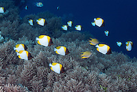 RH0829-D. Pyramid Butterflyfish (Hemitaurichthys polylepis), schooling along reef edge over soft coral. Palau, Pacific Ocean.<br /> Photo Copyright &copy; Brandon Cole. All rights reserved worldwide.  www.brandoncole.com