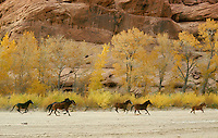 Horses belonging to Navajo Indians running in bottom of Canyon de Chelly National Monument, Arizona, USA.