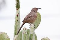 Curve Billed Thrasher, Arizona, USA