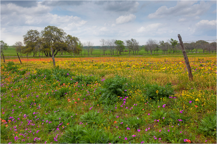 One of my favorite locations to photograph Texas wildflowers is New Berlin just southeast of San Antonio. This photo from the roadside shows the golden field I came to shoot. In spring, this trip from my home in the Texas Hill Country is nearly always worth it.
