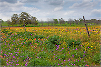Near New Berlin, Texas, Texas Wildflowers cover a field near an old fence.