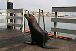 California sea lion at Santa Cruz Muni Wharf