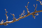 USA, California, San Diego County. Bare branch and sky at Anza-Borrego Desert State Park.