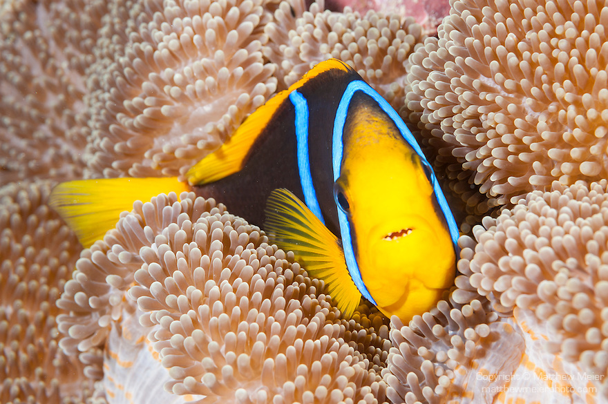 Taveuni, Fiji; a Clark's Anemonefish (Amphiprion clarkii) swimming amongst a magnificent anemone