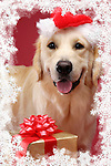 Portrait of Golden Retriever in Santa hat with Christmas gift. Christmas card framed with snowflakes. Brody - Gray Valley Kennels - Toronto.
