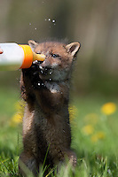 Red Fox cub (Vulpes vulpes) being bottle fed at an Animal Protection Center, La Dame Blanche, Normandy, France.