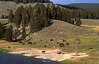 Bisons (Bison bison) in Hayden Valley, Yellowstone National Park, Wyoming, USA