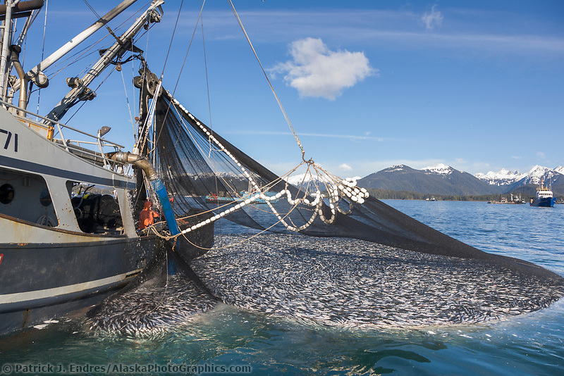 Pacific herring in fishing net for What is commercial fishing