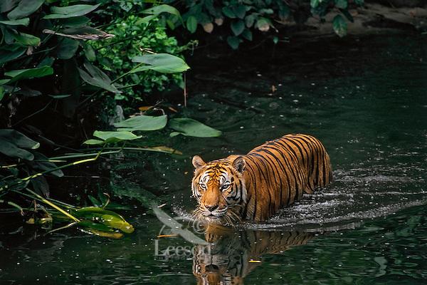 Sumatran Tiger (Panthera tigris sumatrae) in tropical rainforest stream.