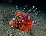 A small zebra lionfish, found on the sandy bottom at night in the Lembeh Strait, North Sulawesi, Indonesia.