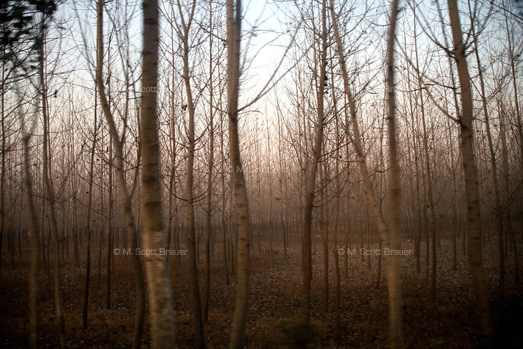 Twilight falls over tree stands outside of Qing He Village, Jiangsu, China.