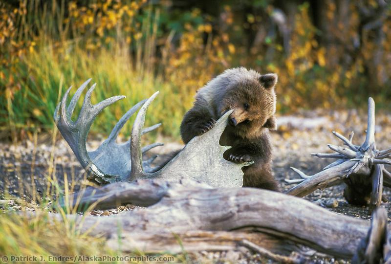 Brown bear, moose antler, Katmai National Park, Alaska