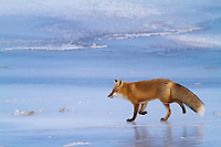 Red fox trots across the icy surface of a frozen stream on Alaska's arctic north slope.