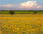 While driving just south of Mason, Texas, I can across this field of golden Texas wildflowers as a spring storm brewed in the distance.