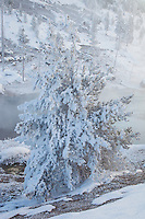 Ghost tree along the Gibbon River in Yellowstone National Park