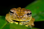 Tree Frog, Hyla calcarata, on leaf in jungle, Iquitos, Northern Peru, nocturnal, face on showing eyes. .South America....