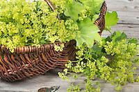 Frauenmantel-Ernte, Ernte, ernten, sammeln von Frauenmantel in einem Korb, Frauenmantel, Alchemilla mollis, Lady´s Mantle, lady's mantle, L'Alchémille, Pied-de-lion