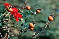 ROSES (ROSACEAE FAMILY)<br /> Rose Hips<br /> The Rose Hip is the edible pomaceous fruit of the rose plant. It forms after the blossoms fall. It is a good source of Vitamin C.