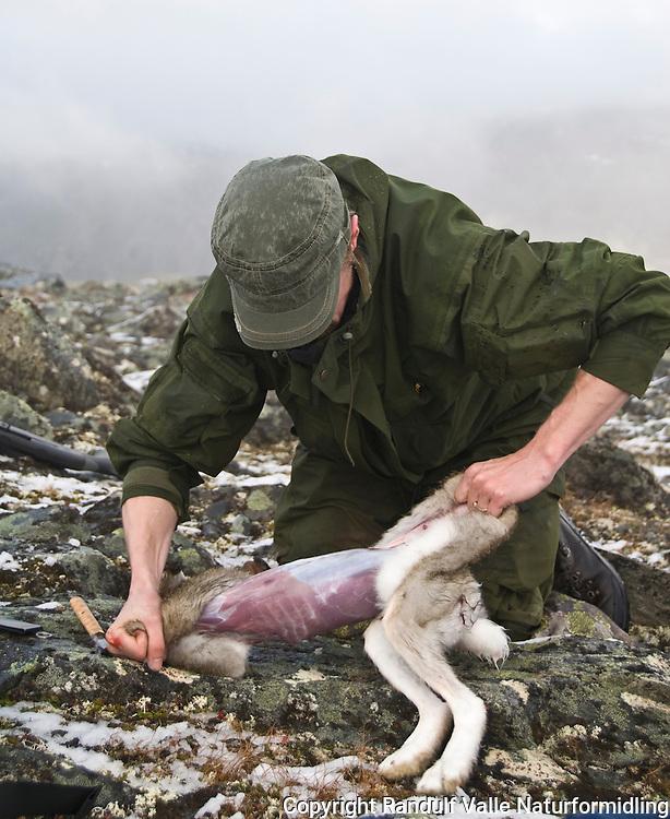 Jeger flår hare i felt ---- Hunter skinning a hare