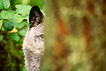 Grey Wolf, British Columbia, Canada
