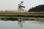 raccoon clamming at the edge of a wetland at the head of Nelson Bay on Henry Island in the San Juan Islands on a still evening