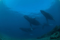 Humpback whales swimming in Maui,Hawaii Whales underwater around the coast of Maui Hawaii,this photos where taken by Benja Iglesis,photographer based in Maui Hawaii,who had shot photos around the world for the past 24 years.