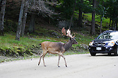 A male adult deer crossing a gravel road