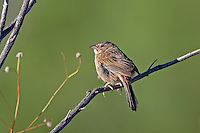 578680011 a wild male botteri's sparrow aimophila botteri perches on a dead stick in the madera grasslands near madera canyon pima county arizona united states