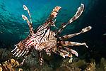 Close up of a lionfish, Pterois volitans, Raja Ampat, West Papua, Indonesia