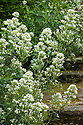 Centranthus ruber 'Albus', the white form of Red Valerian, mid July.
